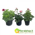 Collection of Geraniums (3 floors)