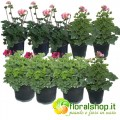 Collection of Geraniums (9 floors)