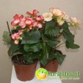 Begonia Elatior - vase Ø 14