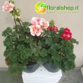 Geranium Zonale Collection - vase Ø 17 (7 floors)