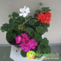 Geranium Zonale Collection - vase Ø 14 (3 floors)
