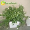 Solanum - vase Ø 17