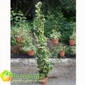 Jasmine - vase Ø 24 h 160 cm