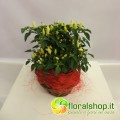 Chilli Lilliput grafted - vase Ø 14  - h 25/30 cm