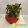 Chilli Violet grafted - vase Ø 14  - h 25/30 cm