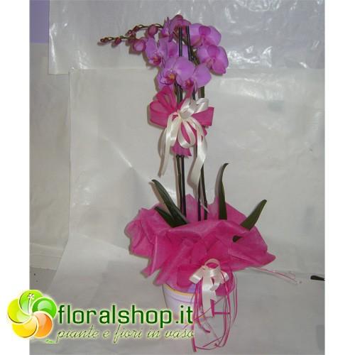 Orchidea alta qualit 2 3 rami confezione regalo 13 for Costo orchidea