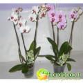 Phaleanopsis Phalaenova 3 branches - vase Ø15 - h 160 cm