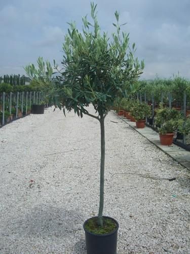 Prodotto non trovato for Acquisto piante olivo